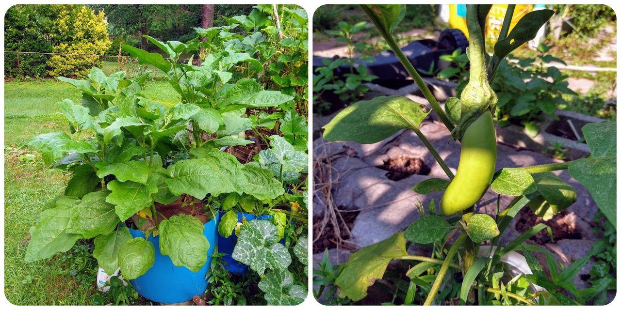 Eggplant Duo.jpg