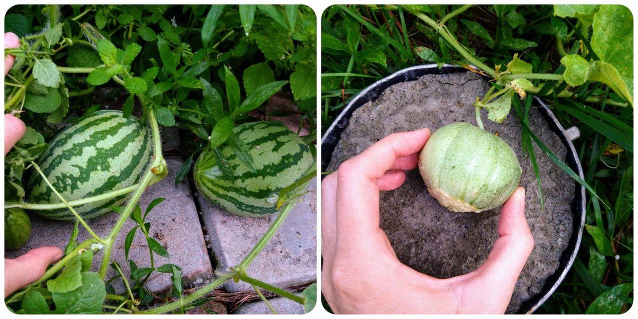 Melons July.jpg