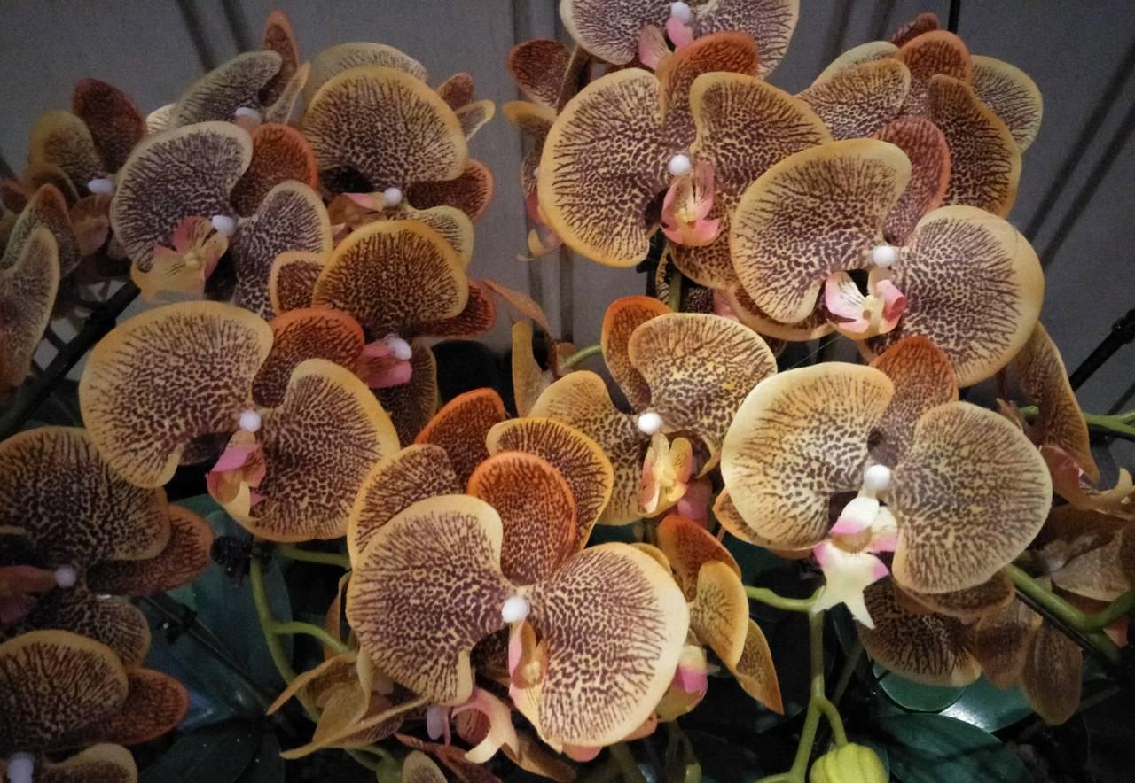 1 Phalaenopsis Amabilis or moth orchid.jpg