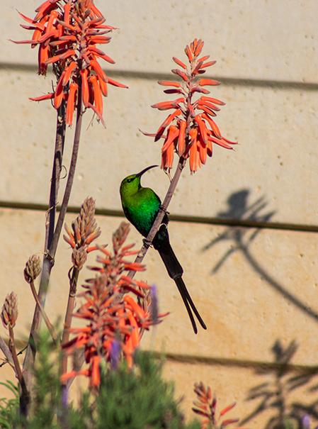 Sunbird Visiting.png