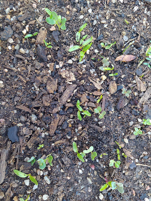 Seedling Spinach.png