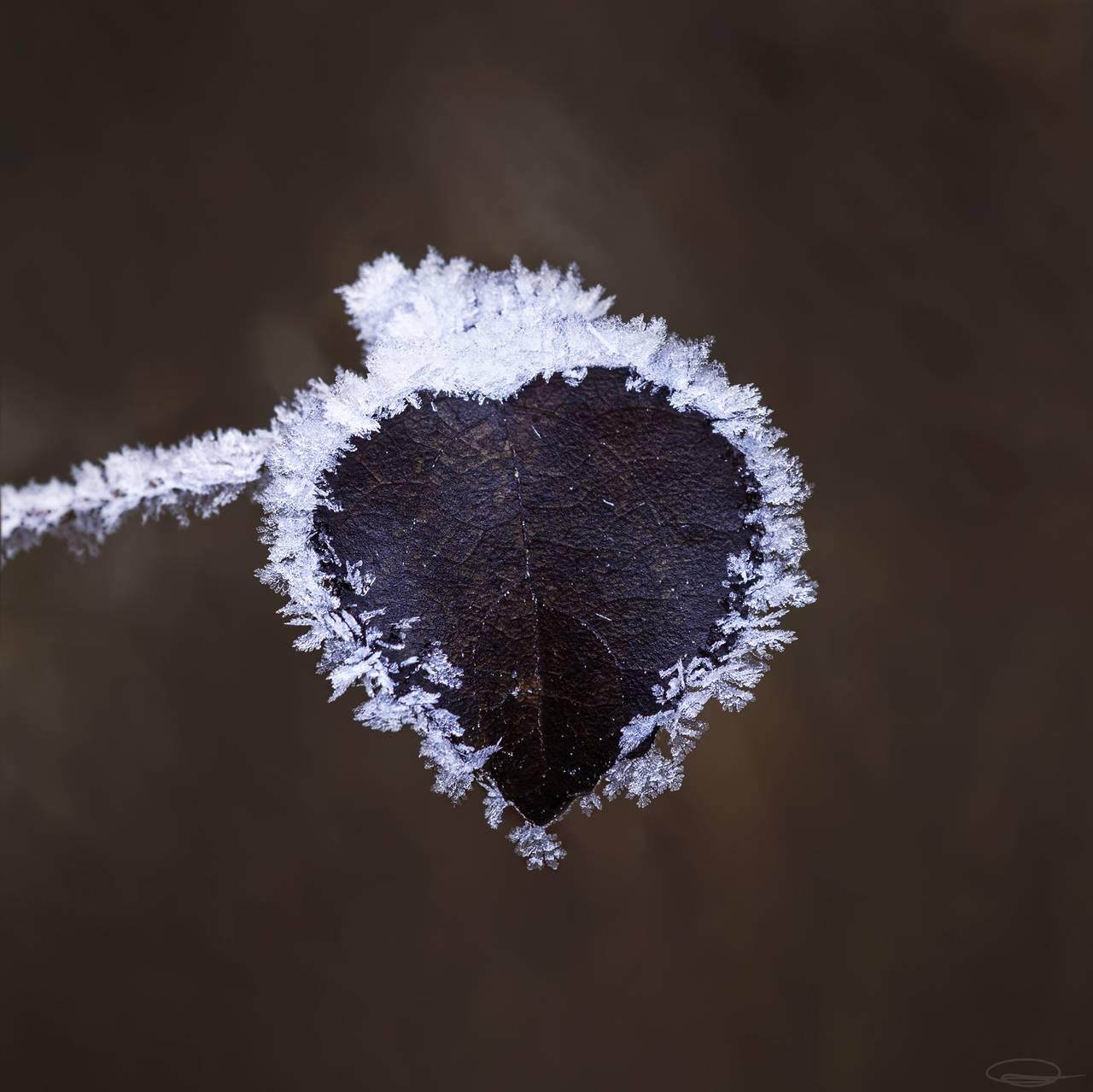 Frozen Heart Leaf