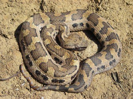 Hime-Habu reptilefact com.jpg