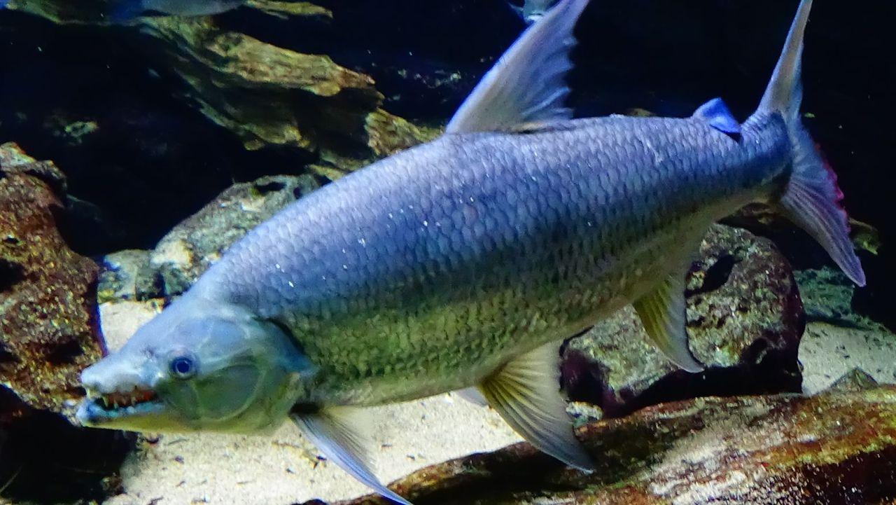 goliath tigerfish Hydrocynus_goliath Cedricguppy - Loury Cédric 4.0.JPG