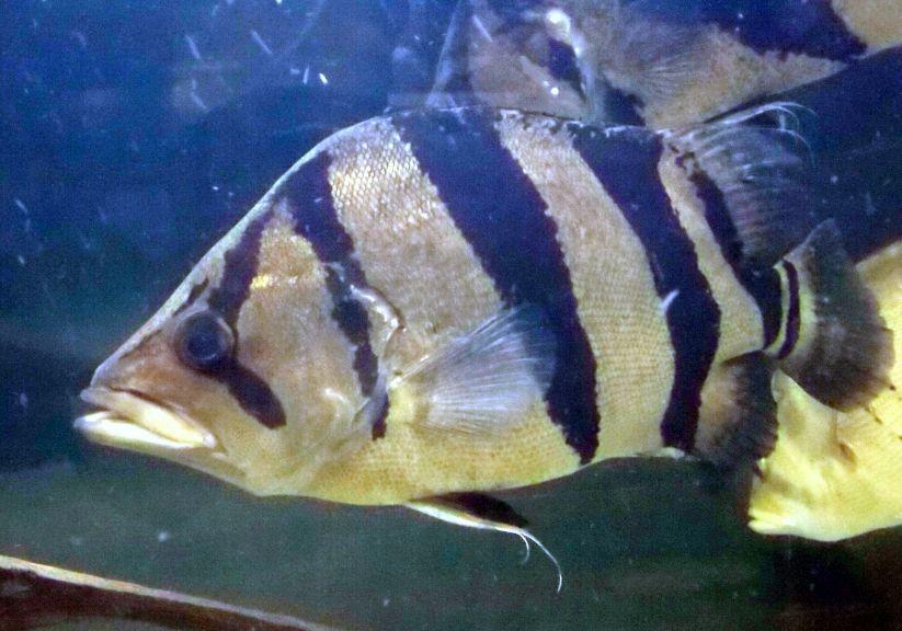 New Guinea Tigerfish Datnioides campbelli  George Berninger Jr. 4.0.JPG