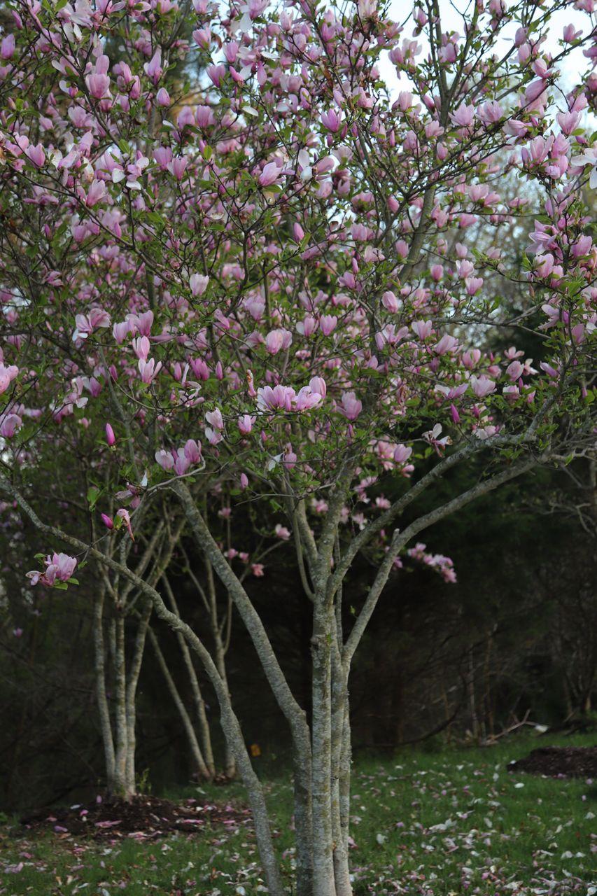 IMG_1356 magnolias.JPG