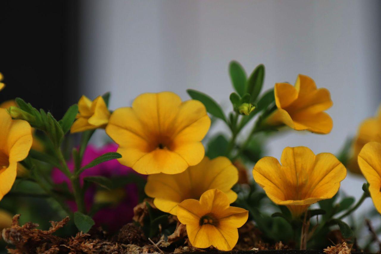 IMG_1497 petunias.JPG
