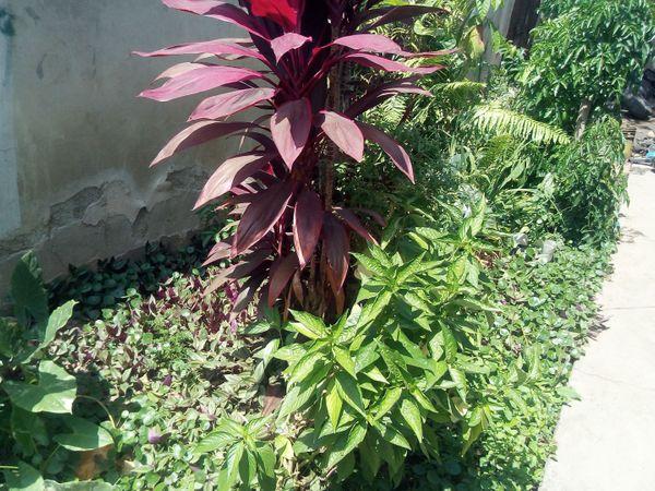 [ENG-ESP] HEALING PLANTS PRESENT IN MY HOME - PLANTAS CURATIVAS PRESENTES EN MI HOGAS