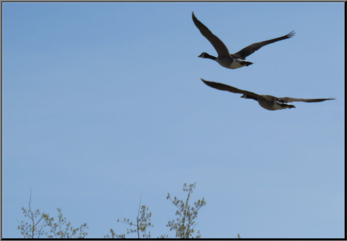 close up pair of canada geese in flight.JPG