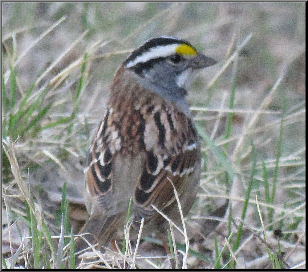 close up white thoated sparrow in the grass.JPG