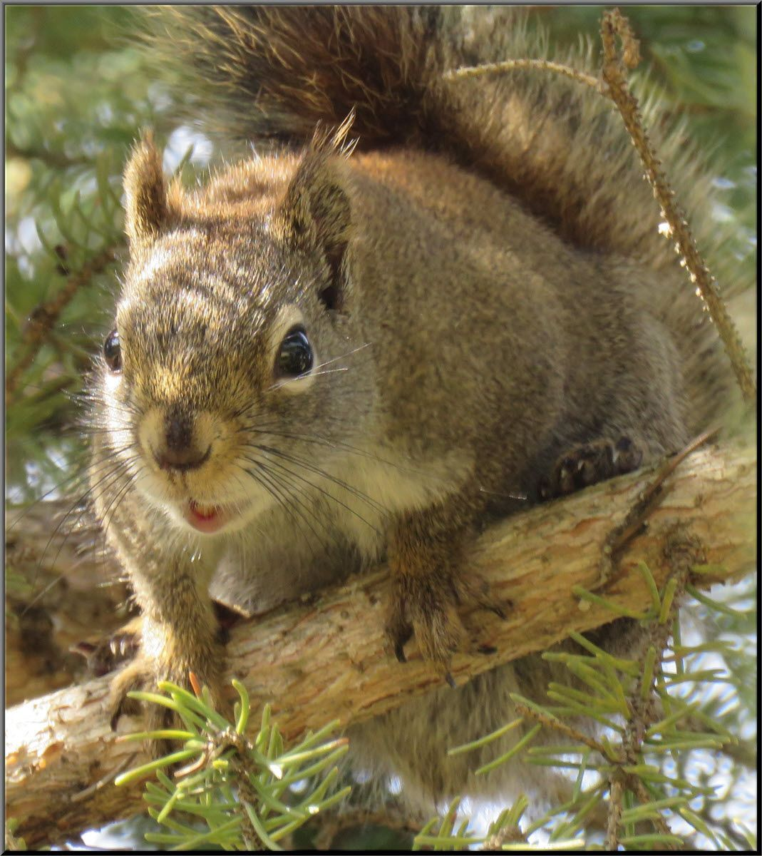 close up squirrel in spruce tree mouth open.JPG