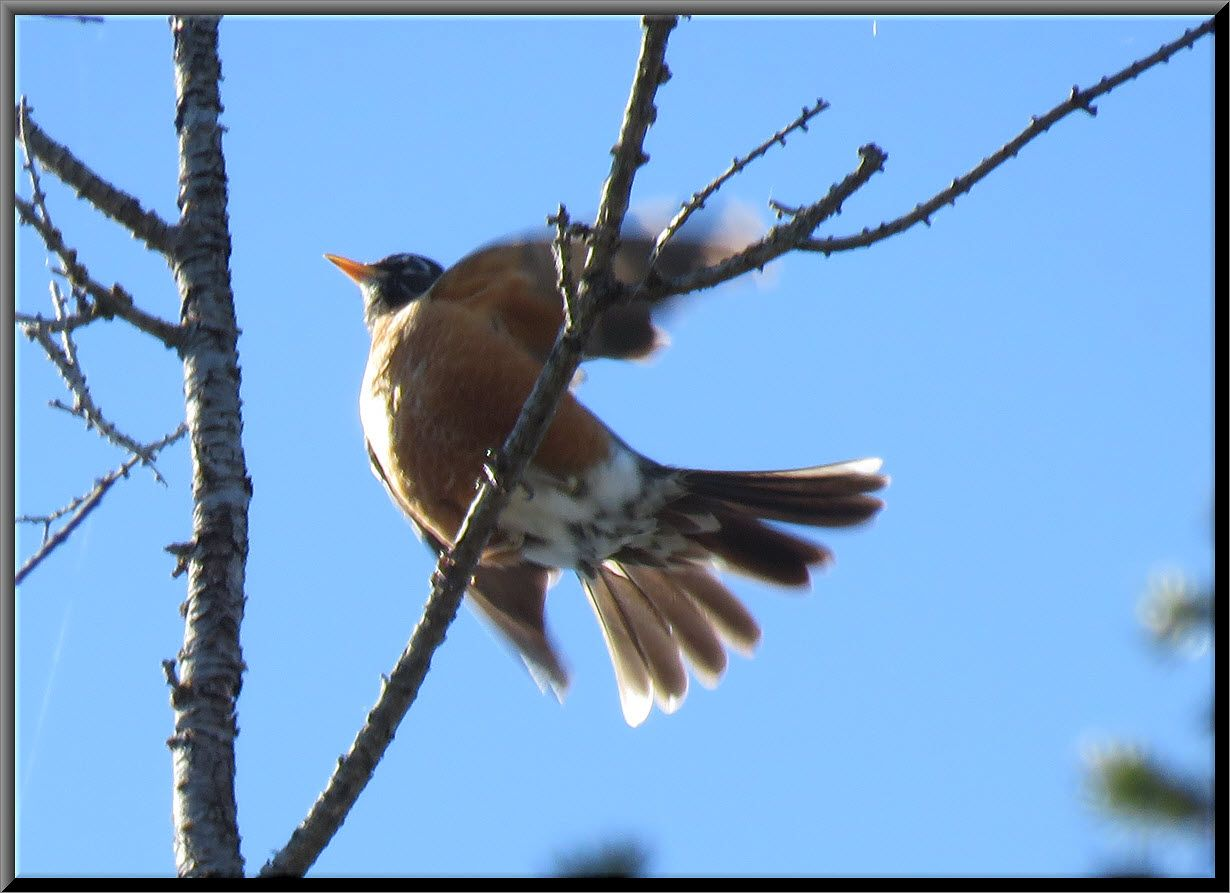 close up robin on branch wings and tail spread.JPG