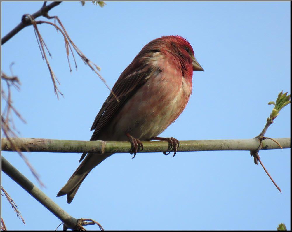 close up male purple finch side few.JPG