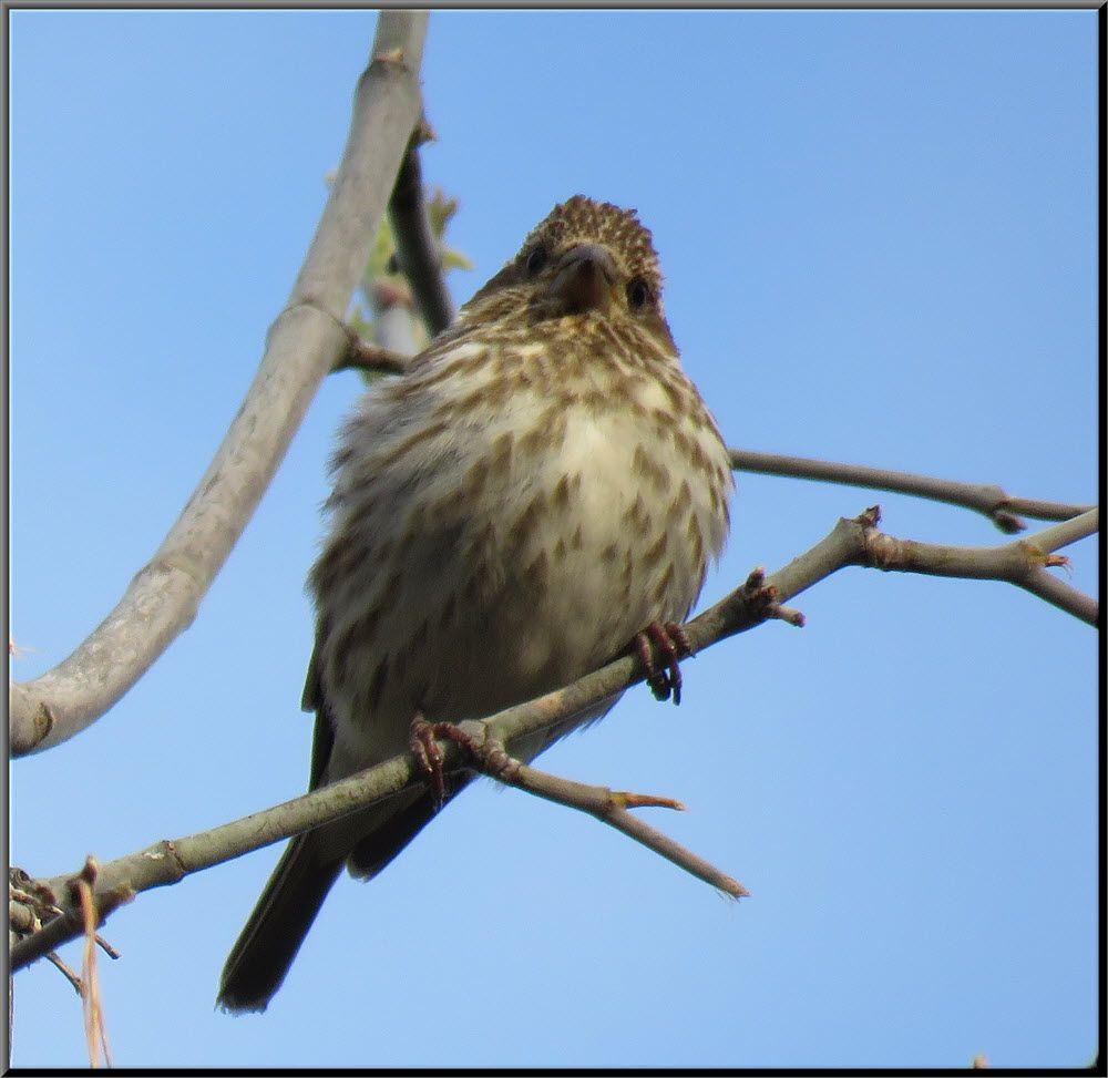 close up cute female purple finch on branch.JPG