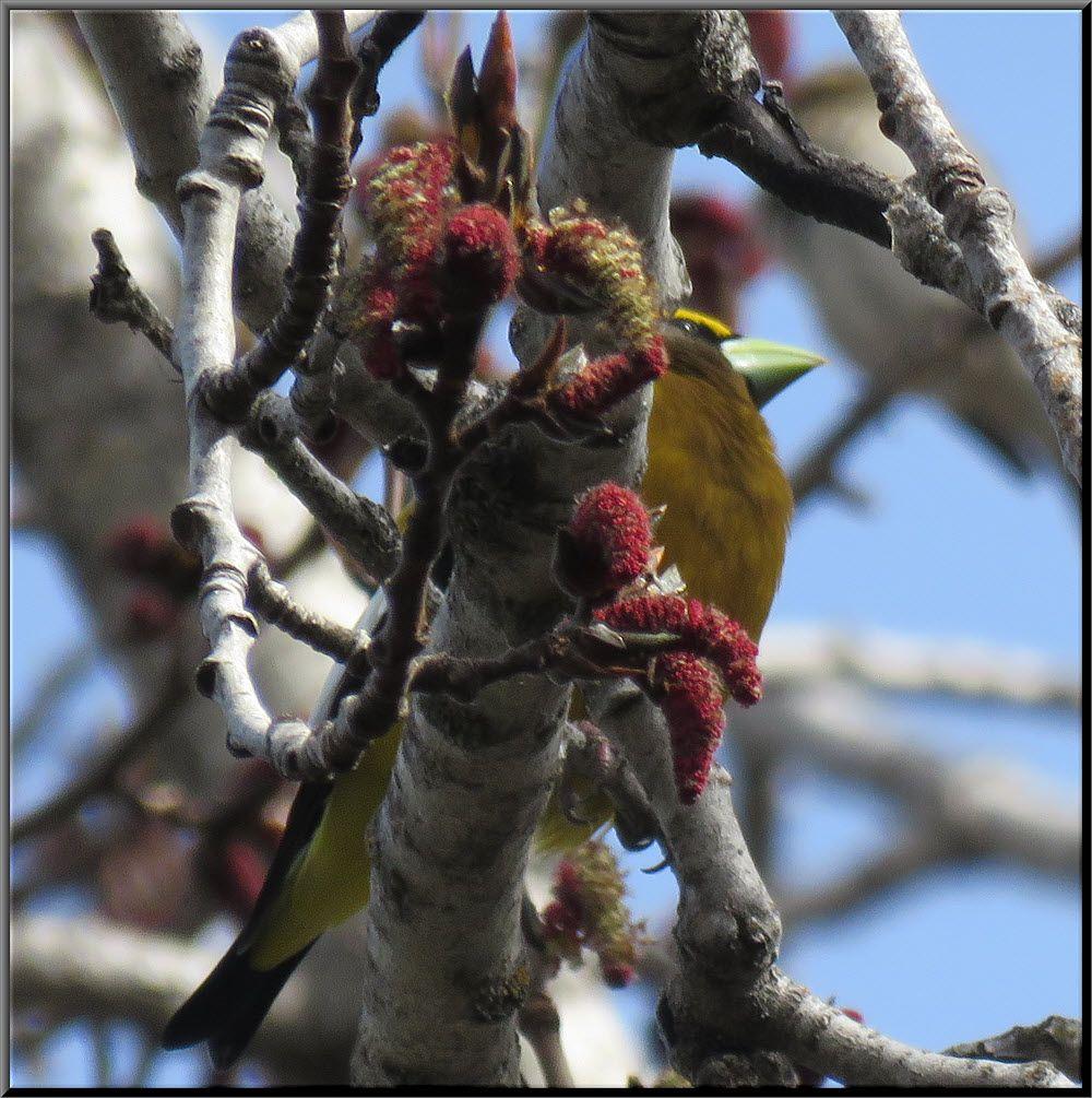 close up grosbeak behind red catkins on poplar tree.JPG