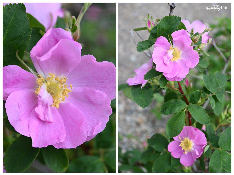icefield parkway wild rose.jpg