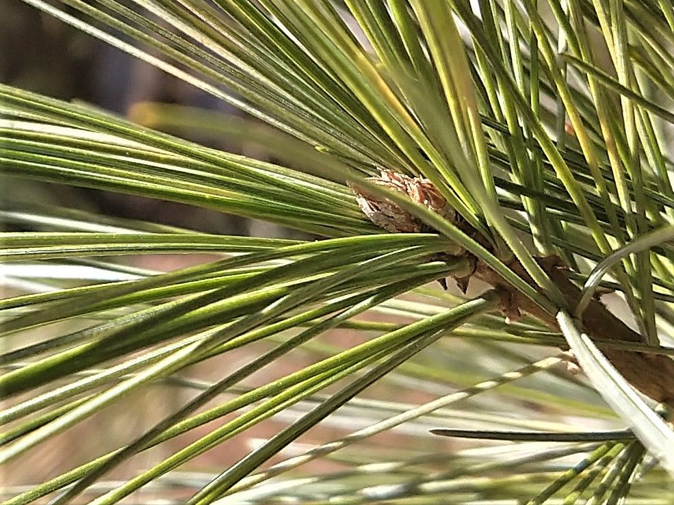 pine pollen.jpg
