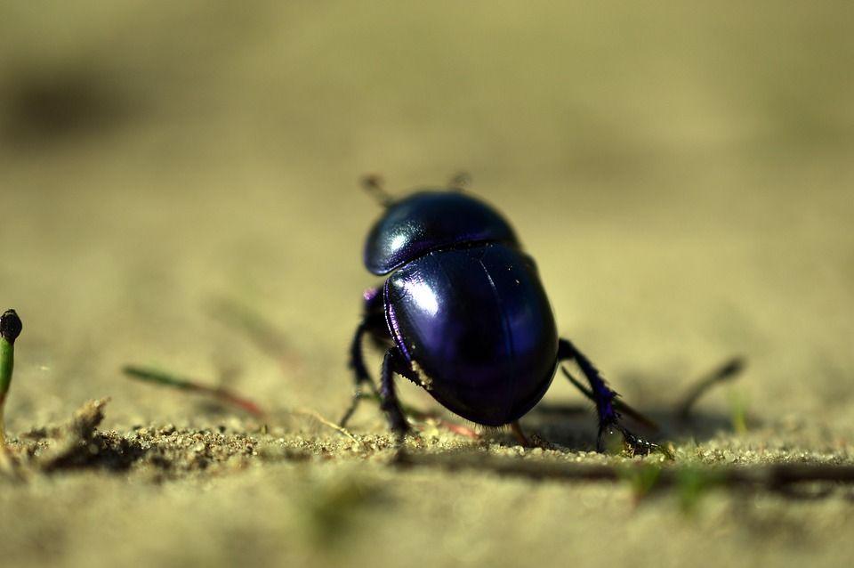 beetle-4085098_960_720.jpg