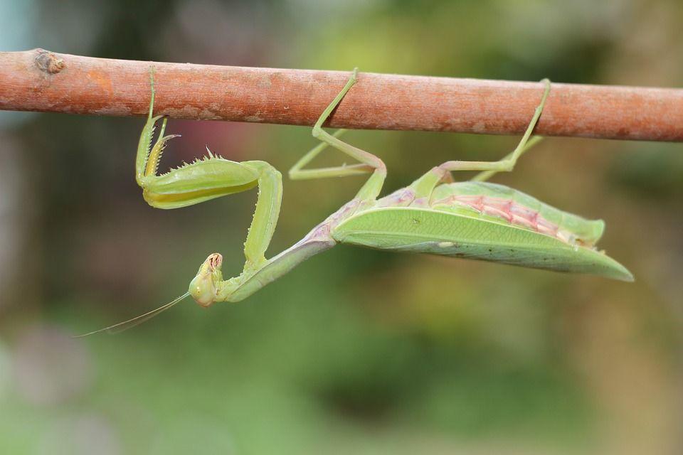 praying-mantis-3159423_960_720.jpg