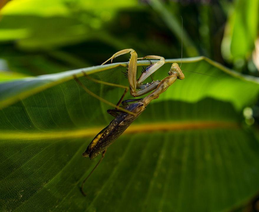 praying-mantis-5739522_960_720.jpg