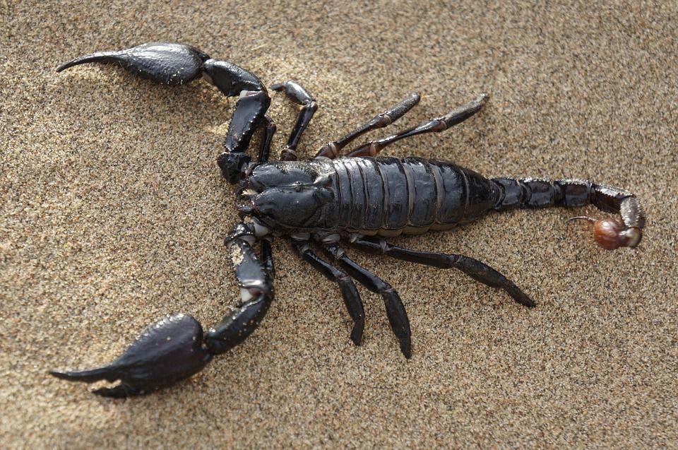 scorpion-651142_960_720.jpg