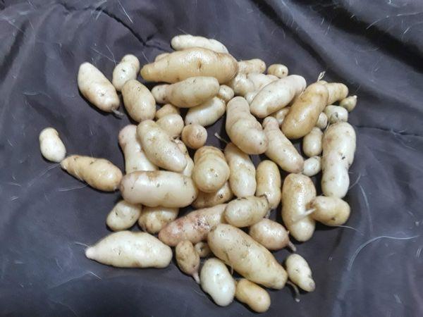 My small crop of organic fingerling potatoes