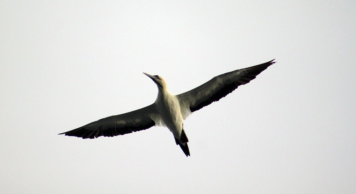 Cape Gannet.png
