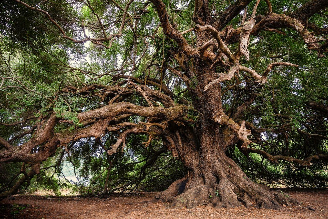 olive_tree_3579922_1920.jpg