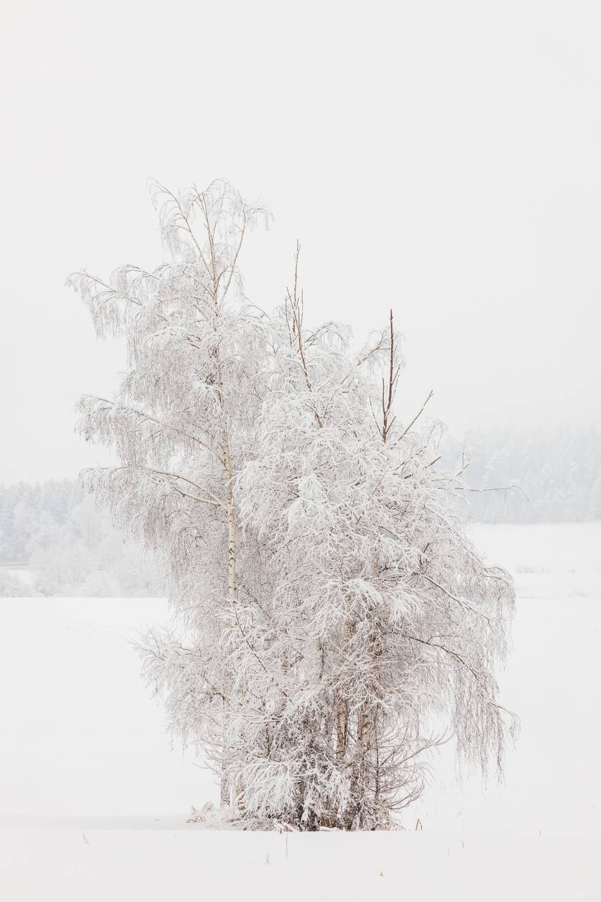 Birch Trees in Winter covered in Snow