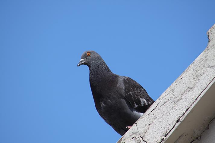 Fooking Pigeon.png