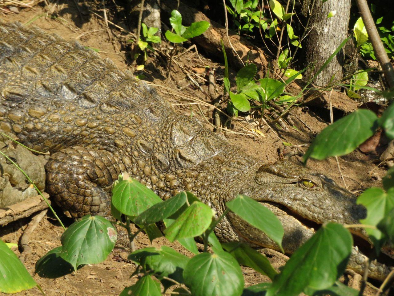 2940-Croc.JPG
