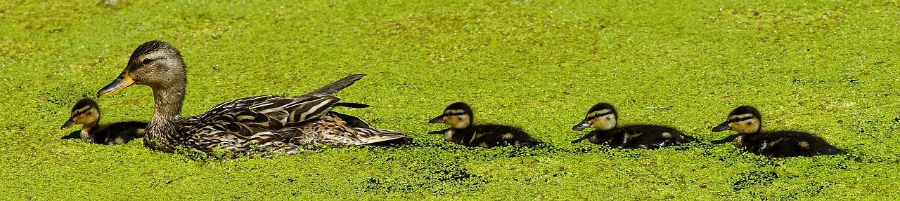 duck-3527585_1280.jpg