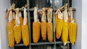 Corn cobs on the window