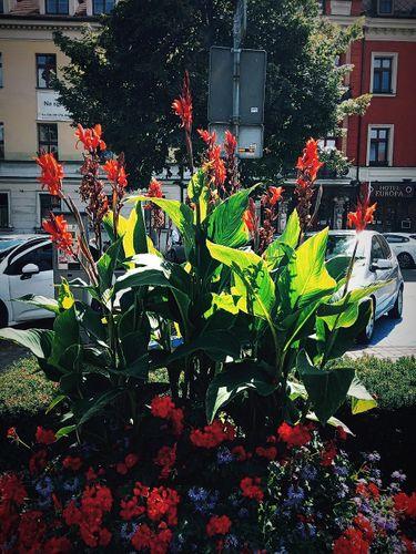Flowers: Amazing Canna Street