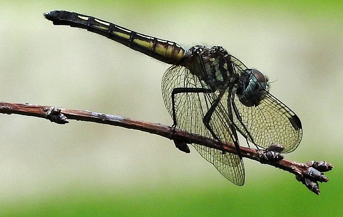 Dragonfly posing in our yard, July 18, 2017