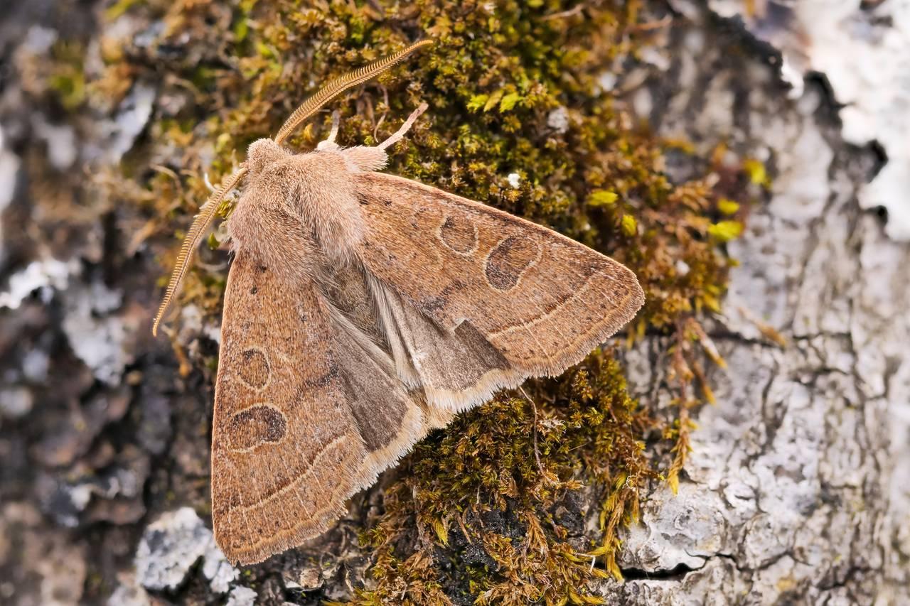 RundflügelKätzcheneule Orthosia cerasi_P14879922720200319.jpg