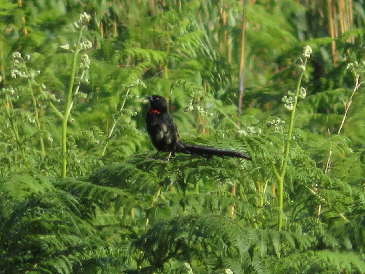 1127Redcollared widowbird.JPG
