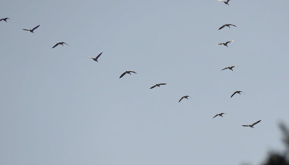 close up flock geese flying in v.JPG
