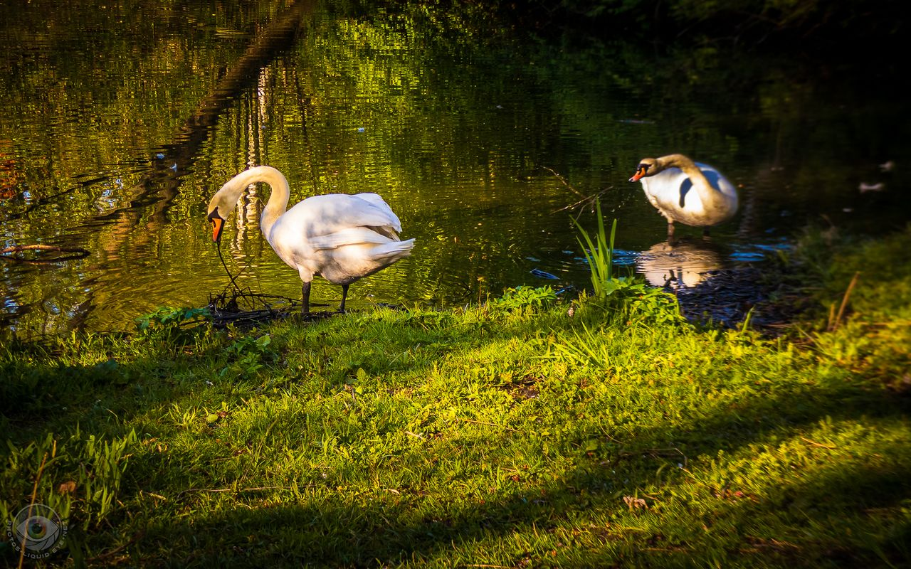 Swan Couple Shore Clean-Up