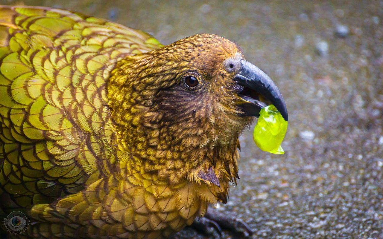 4637_kea_bird_eating_grape_liquideye_.jpg