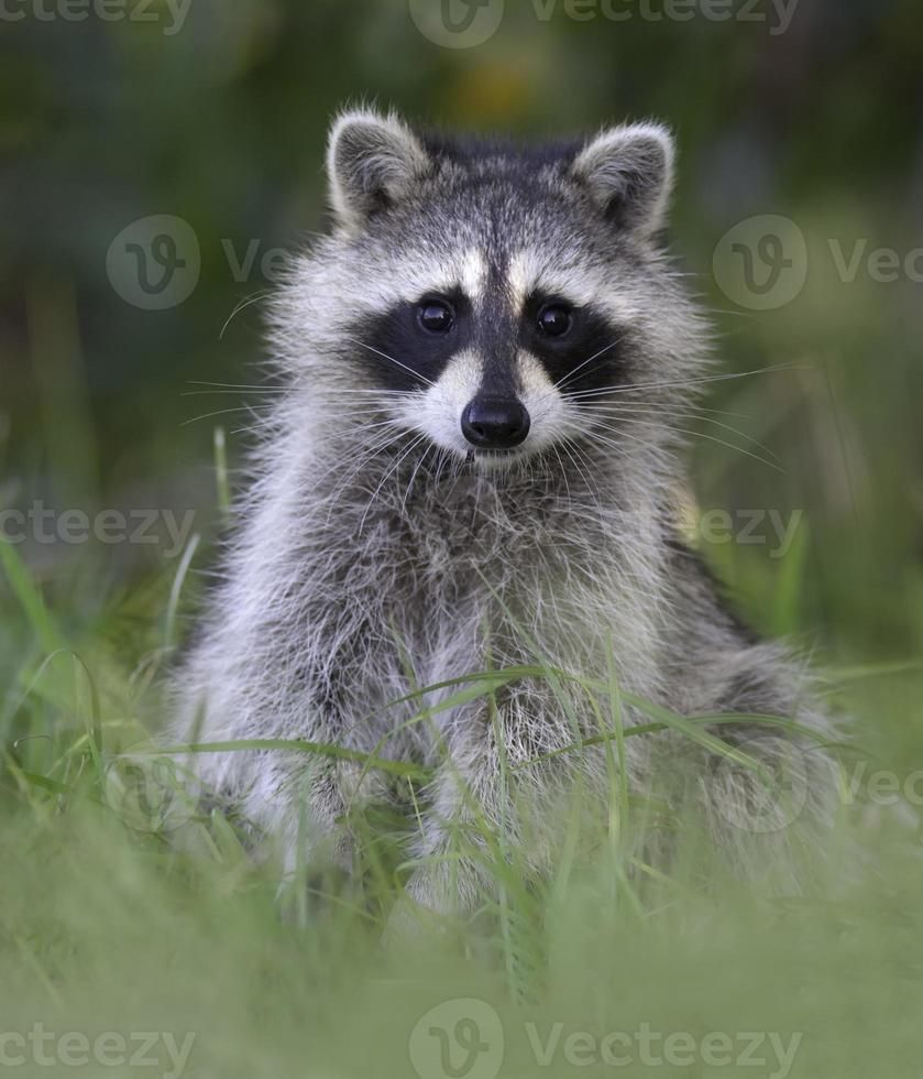 a-baby-raccoon-standing-in-the-grass-photo.jpg