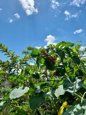 Arbol frutal /  Fruit tree