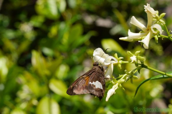 Silver-spotted skipper Butterfly feeding on Jasmine flower