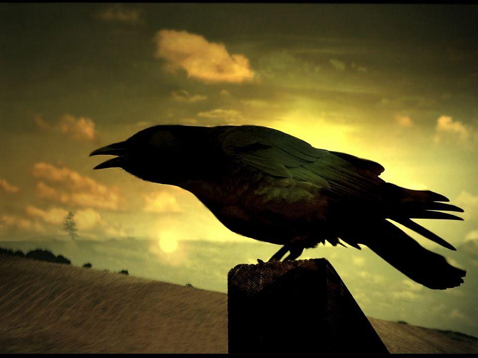 raven-73179_960_720.jpg