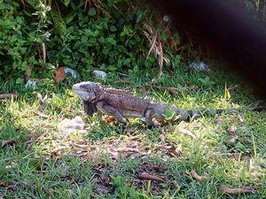 Iguana - Iguanidae