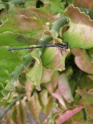 Libelula  - Anisoptera