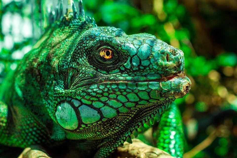 iguana1902814_960_720.jpg