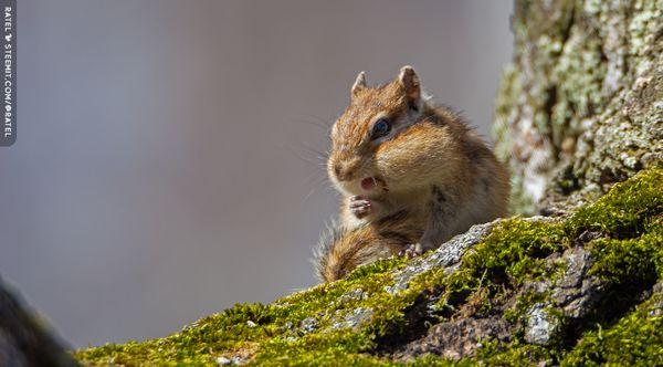 Wildlife : Chipmunk-15🐿️